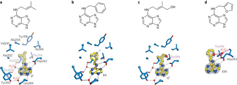 Figure 8. (a) Close up of the AHK4 cytokinin binding site occupied by N6-isopentenyladenine. Interacting residues in the tail binding pocket are shown in blue. (b) Structural superposition of the N6-benzyladenine and N6-isopentenyladenine complexes. (c) The hydroxylated isopentenyl chain of trans-zeatin contacts Thr294 (magenta). (d) The tail binding pocket can accommodate the larger furfuryl group of kinetin.