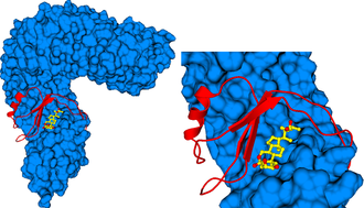 Figure 3. A small island domain in BRI1 is critical for steroid binding. The left panel shows the steroid ligand (yellow wire diagram) sandwiched between the BRI1 leucine-rich repeat domain core (in blue, in surface representation) and the island domain (in red, ribbon diagram). The right panel shows a close-up version.