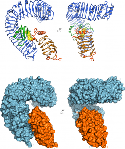 Figure 4. The steroid hormone brassinolide promotes association of the BRI1 and SERK1 LRR domains. Top panel: Ribbon diagrams of BRI1 (blue) and SERK1 (orange). The steroid ligand is found sandwiched between the two LRR domains (yellow, in surface representation). Bottom panel: Surface views of the BRI1 and SERK1 LRR domains reveal that SERK1 neatly fits into the BRI1 superhelical spiral, completing the hormone binding pocket.