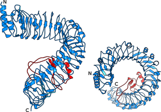 Figure 2. The BRI1 ligand binding domain forms a superhelical spiral. Shown is a ribbon diagram of the BRI1 ectodomain from the front and from the top. Leucine-rich-repeats are highlighted in blue. The regular repeat structure is interrupted by the island domain (in red).