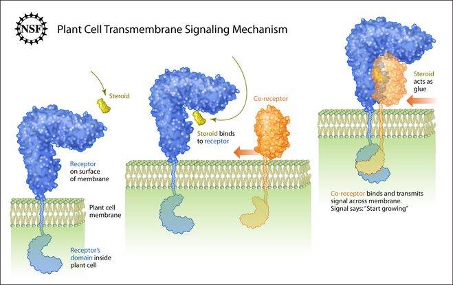 Figure 6. Schematic view of plant LRR receptor kinase receptor activation. Binding of ligand (yellow) to the receptor (in blue) creates a docking platform for a shape-complementary co-receptor kinase (orange). Association of the LRR domain also brings the kinase domains in proximity in the cytoplasm, where they can transphosphorylate and activate each other.
