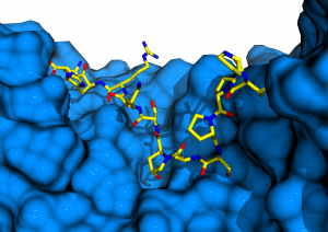 The IDA peptide binding site in the receptor kinase HAESA. HAESA (blue surface) provides a binding pocket for an active IDA 12 mer (in yellow, in bonds representation). IDA carries a central hydroxyproline, which binds to a pocket in the center of the HAESA peptide binding site.