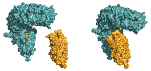 Brassinosteroid receptor activation. (left panel) The steroid hormone brassinolide binds to a surface pocket of the BRI1 receptor (in blue). This creates a docking platform for the smaller and shape-complementary LRR-domain of SERK1 (in orange), which binds on top, with the steroid acting as a molecular glue (right panel). Image by Julia Santiago.