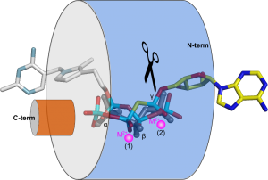 Figure 5. Schematic view of the tunnel domain in different TTM enzymes, which allow their substrates to enter the tunnel from opposite sites, thus generating different leaving groups.