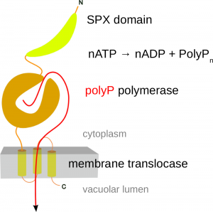 Figure 2. Molecular architecture of the VTC subunit Vtc4. An N-terminal SPX domain is followed by the catalytic polyphosphate polymerase domain and a transmembrane domain, which allows for the transport of the growing polymer into the vacuolar lumen.